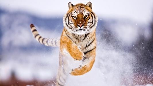 老虎焦点壁纸