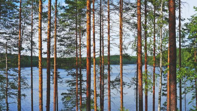 松树林图片壁纸