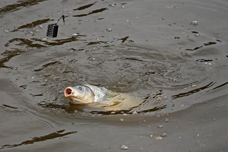 鲤鱼, ledenice, 南波希米亚, 鱼, 自然, 池塘, 水位