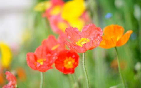 罂粟花,花瓣,红,橙,粉,夏季壁纸