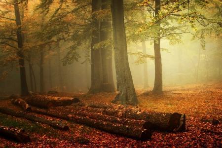 雾,森林,性质,秋天,叶子,景观,树干,早上的壁纸