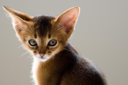 大耳朵猫壁纸