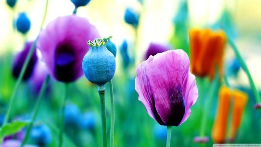 紫色罂粟花壁纸