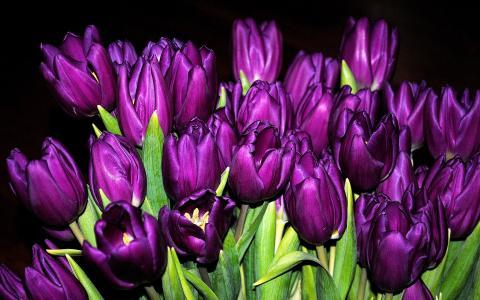 许多紫色郁金香,花朵特写,黑色背景壁纸