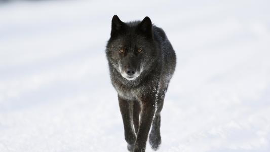 冬日壁纸中的黑狼