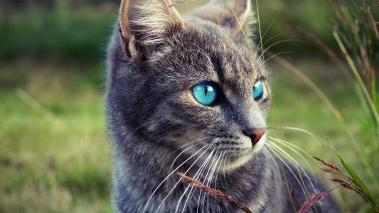 灰色的猫,蓝色的眼睛,草地壁纸