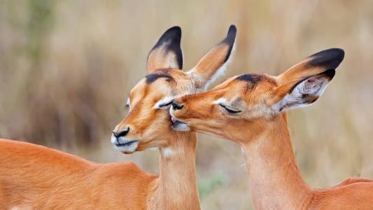 南非,黑斑羚,爱吻壁纸