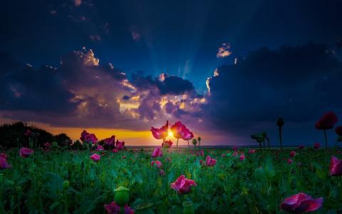 自然,风景,鲜花,太阳壁纸