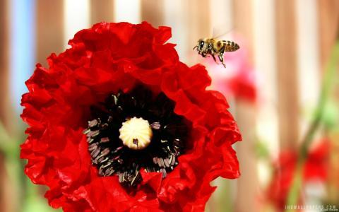 蜜蜂和罂粟壁纸