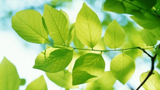 树枝上的绿叶
