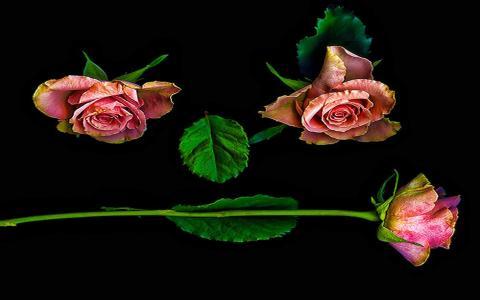 探戈舞玫瑰壁纸