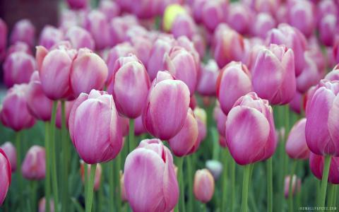 粉红郁金香壁纸