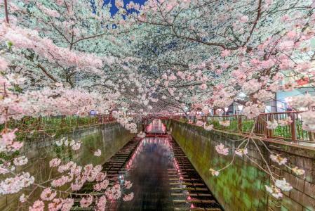 东京樱花日本壁纸