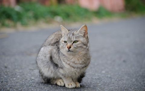 灰色的猫在路上的壁纸