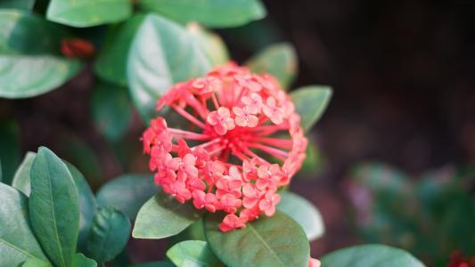 Pink Ixora,绿叶壁纸