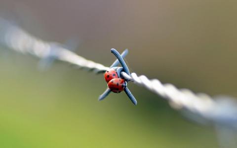 在铁丝网上壁纸两瓢虫