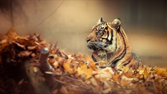 老虎秋季动物高清壁纸
