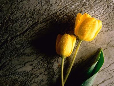 黄色郁金香高清晰度壁纸