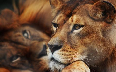 狮子高清壁纸