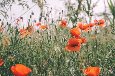 草甸花卉罂粟壁纸