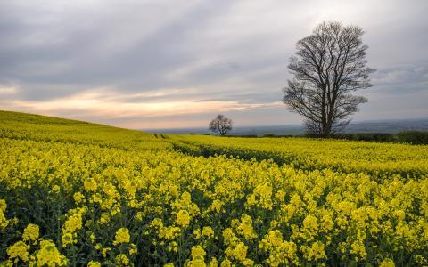 花树黄色字段高清壁纸