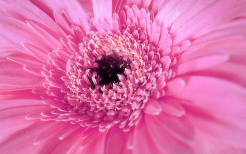 粉红色可爱的非洲菊壁纸