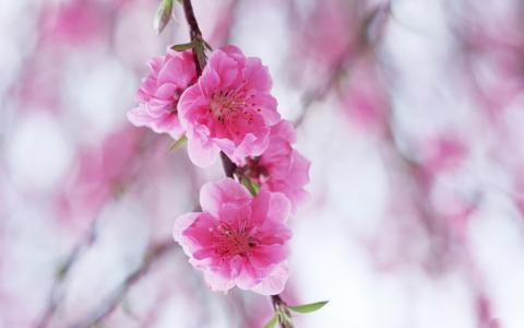 鲜花盛开的梅花高品质免费。