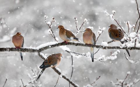 五只鸟,哀悼鸽子,树枝,雪,冬天,新斯科舍省,加拿大壁纸