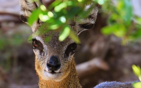 在叶子墙纸的可爱的鹿