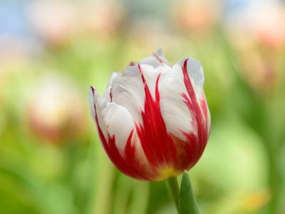 郁金香宏,红白花瓣壁纸