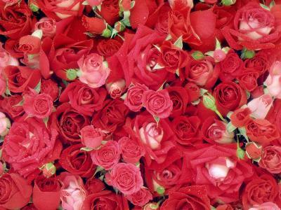 清新玫瑰高清壁纸