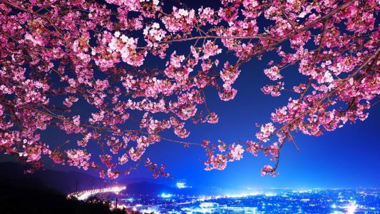 可爱樱花壁纸