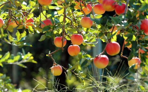 水果园,苹果树,新鲜苹果壁纸