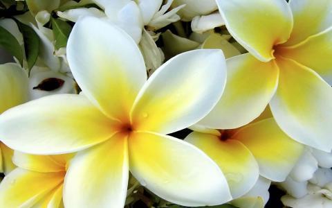 热带白色和黄色花朵壁纸