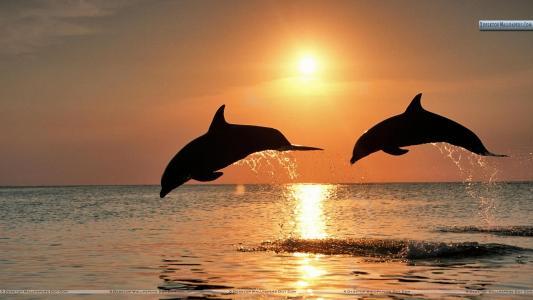 宽吻海豚跳跃在森塞特、洪都拉斯壁纸