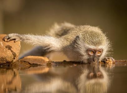 南非,西芒,猴子壁纸