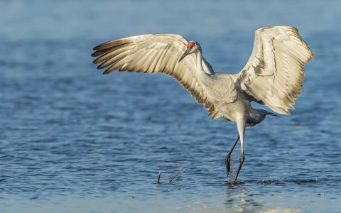 起重机,鸟,翅膀,水