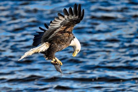 秃头鹰,捕食者,翅膀,飞行,鱼,猎物