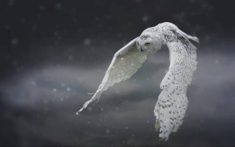 白色的猫头鹰,猫头鹰,鸟,翅膀,飞行