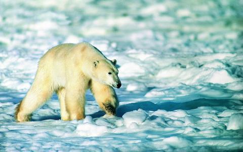 白熊,雪,大爪子