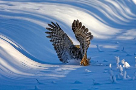 猫头鹰,鸟,翅膀,冬天,雪