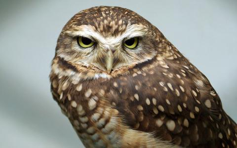 喙,羽毛,圆眼睛,猫头鹰