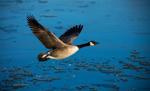 飞行,翅膀,自由,鹅