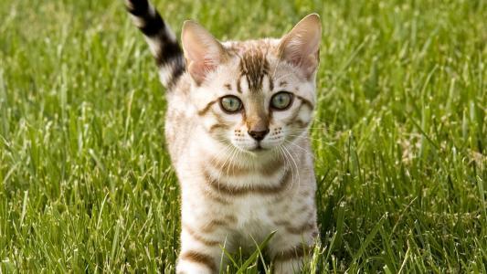 绿眼睛的猫,绿草