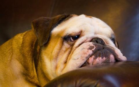 狗,狗,英国牛头犬,脸