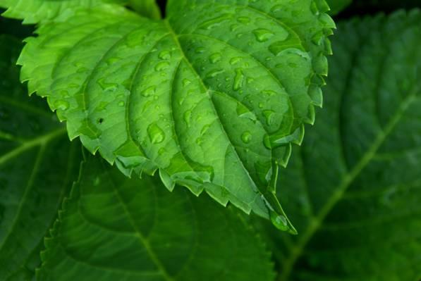 在白天高清壁纸的叶子上的露水