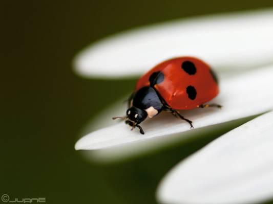 瓢虫上白花瓣花高清壁纸