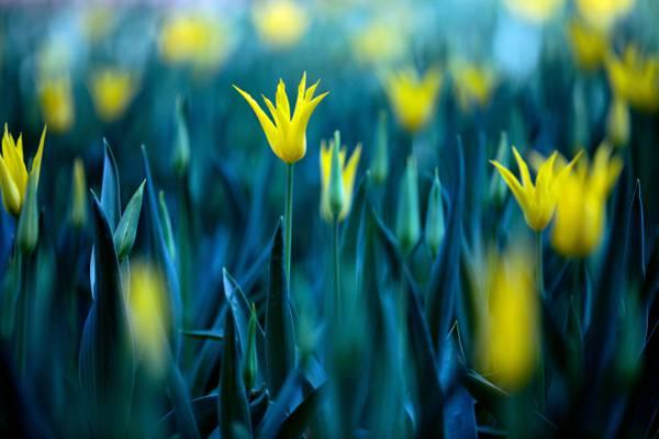 黄色的花被捕获使用单反相机自动对焦设置,郁金香高清壁纸