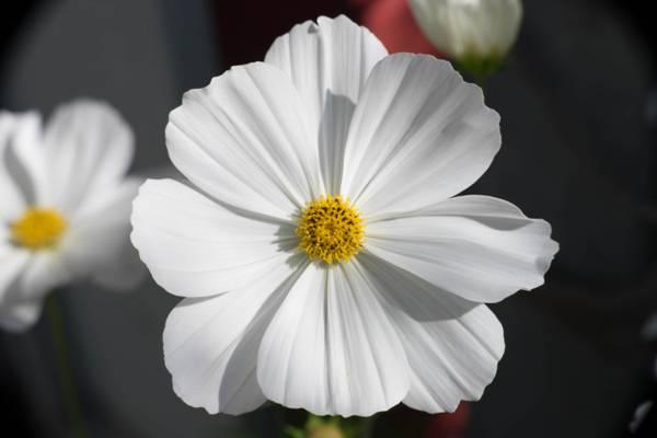白色雏菊花高清壁纸