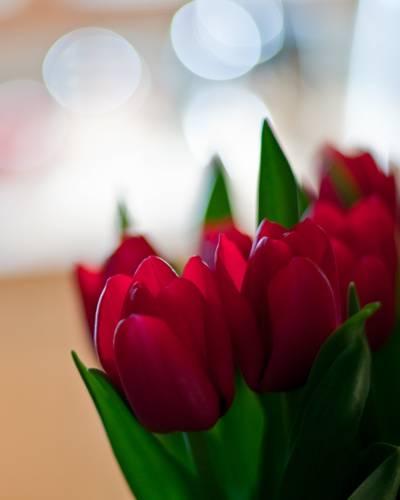 红色郁金香花,郁金香高清壁纸